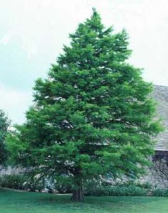 baldcypresstree