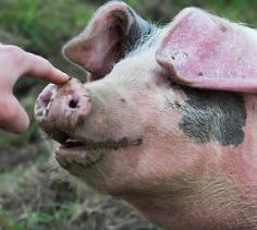 cerdo jeta