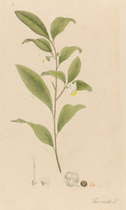 Thea viridis